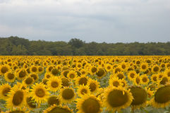 Sunflowers. Cultivation of sunflowers close to Varna, Bulgaria Stock Photo