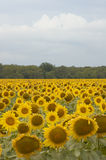 Sunflowers. Cultivation of sunflowers close to Varna, Bulgaria stock photography