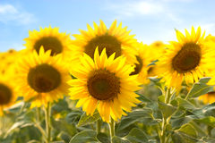 Sunflowers Stock Photo