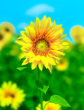 Sunflowers. Gorgeous sunflowers field  under clean blue sky Royalty Free Stock Photo