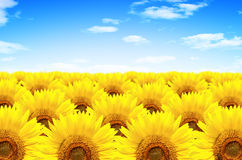 Sunflowers. Gorgeous sunflowers field  under blue sky with clouds Stock Photography