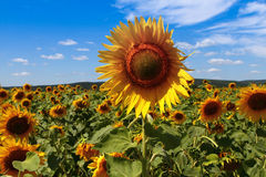 Sunflowers. Sunflowers against blue sky Royalty Free Stock Image