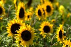 Sunflowers. A field of big bright sunflowers Stock Photo