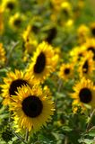 Sunflowers. A field of big bright sunflowers Royalty Free Stock Photo