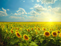 Sunflowers. At sunset lights Royalty Free Stock Photo