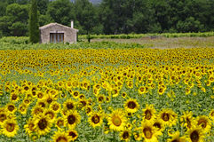 Sunflowers. A nice field of sunflowers in Provence,France Royalty Free Stock Photo