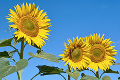 Free Sunflowers Stock Images - 26777584
