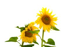 Sunflowers. On the white background royalty free stock images