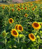 Sunflowers. Landscape of sunflowers field captured in Pollenza / Macerata / Marche / Italy Stock Photos