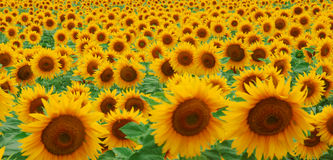 Sunflowers. A landscape of beautiful sunflowers, filling the entire frame Royalty Free Stock Photo