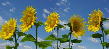 Sunflowers. Four submission sunflowers and one different sunflower Royalty Free Stock Photos
