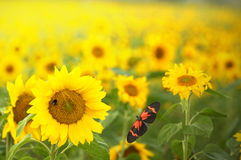Sunflowers. And a butterfly in a field Stock Photography