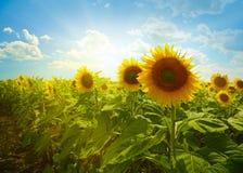 Free Sunflowers Stock Image - 28543391