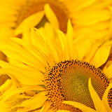 Sunflowers. Yellow sunflowers closeup for your desing Royalty Free Stock Images