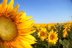 Sunflowers. An image of sunflowers on background of sky Royalty Free Stock Photo