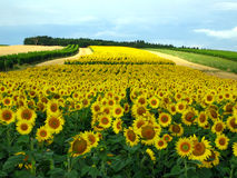 Sunflowers. Field of sunflowers in Austria Royalty Free Stock Photo