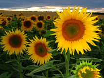 Sunflowers. In the field in sunset Royalty Free Stock Photo