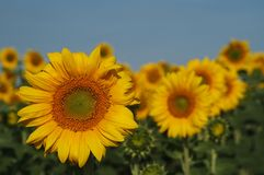 Sunflowers. Garden of sunflowers, with focus on closest flower.  Blue-gray sky above.  Shallow depth of field Stock Images