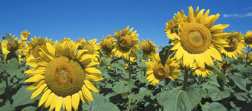 Sunflowers. Wide angle view of sunflowers Stock Photo