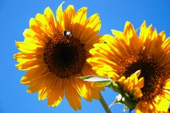 Sunflowers. With bumblebee Stock Image