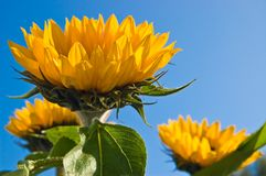 Sunflowers. Yellow Sunflowers against blue sky Royalty Free Stock Images