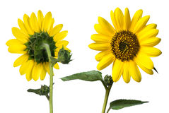 Sunflowers. Sunflower, front and back, isolated on white stock photos