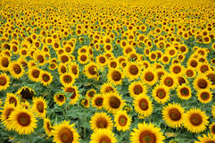 Sunflowers. A field of sunflowers turning towards the sun royalty free stock image