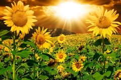 Free Sunflowers Stock Images - 4879564