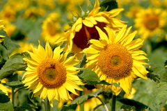 Sunflowers. Turned to the sun Stock Photography
