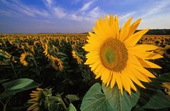 Sunflowers. Sunflower field Stock Photography