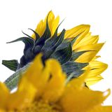 Sunflowers. Details of two bright sunflower blossoms. Species: Helianthus annuus stock images