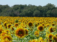 Sunflowers. A sunflower field Stock Images