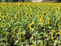 sunflowers 库存图片