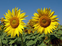 Sunflowers. Field Royalty Free Stock Photography