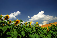 Sunflowers. A Field of sunflowers in Tuscany, Italy Stock Images