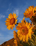 Sunflowers. Spring sunflowers agains the sky Royalty Free Stock Photos