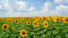 Sunflowers. Big field of gold sunflowers under the bluue sky Stock Image