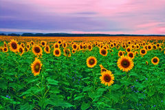 Free Sunflowers Stock Photo - 6257850