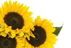 Sunflowers. Isolated on a white background with copy space Royalty Free Stock Photography