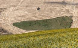 Sunflowers. An extensive landscape of sunflowers Stock Photos