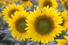 Sunflowers. Cultivation of plants of sunflowers Stock Images