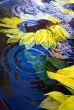 Sunflowers. Fresh sunflower blooms floating in water with ripples Stock Images