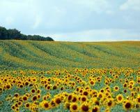Free Sunflowers Stock Photo - 77532590
