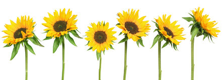 Sunflowers stock image