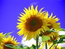 Sunflowers. Sunflower proudly exposed in the summer heat royalty free stock photos