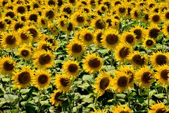Sunflowers. Sunflower field background royalty free stock image