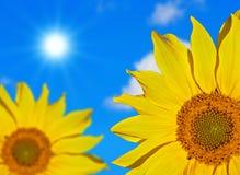 Sunflowers against blue sky Stock Photos