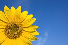 Sunflowers against blue sky Royalty Free Stock Photography