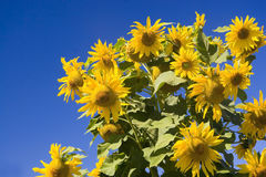 Sunflowers against blue sky. Group of sunflowers against blue sky Royalty Free Stock Image
