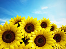 Sunflowers. Against the blue sky background Stock Images